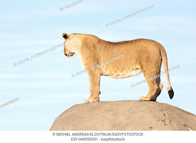 Lioness watching from a rock - Scanning her surroundings