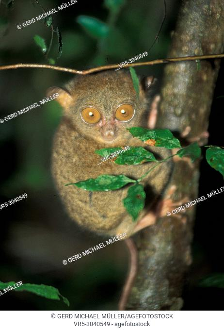 Tarsier: World smalles monkey in Sabah on Borneo Island