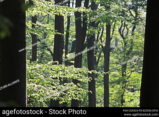 24 April 2020, North Rhine-Westphalia, Cologne: Beech trees can be found in the Gremberg forest. Along with spruces, beech trees suffer particularly from...