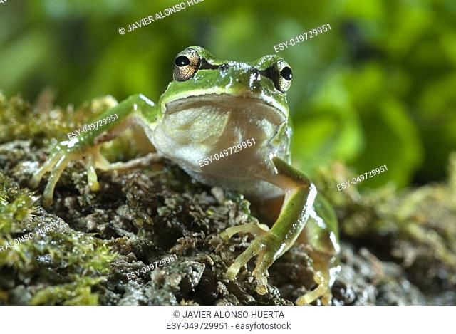 Nice amphibian green European tree frog, Hyla arborea, details of the eyes, portrait