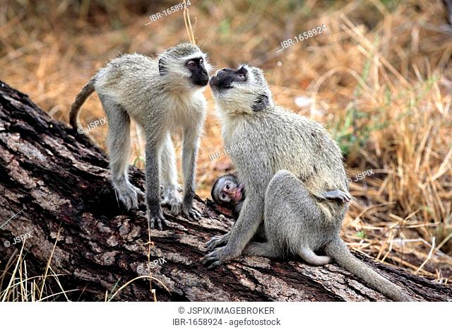 Vervet Monkey, Grivet Monkey (Cercopithecus aethiops), female adult with suckling young on tree, social behaviour, Kruger National Park, South Africa, Africa