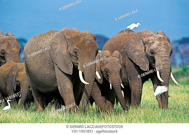 African Elephant, loxodonta africana, Herd at Masai Mara Park in Kenya