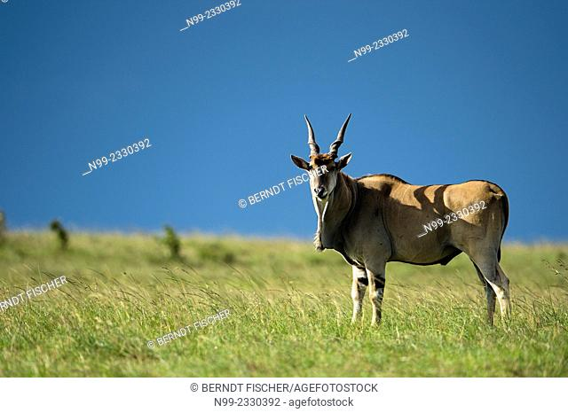 Eland (Taurotragus oryx), Masai Mara, Kenya
