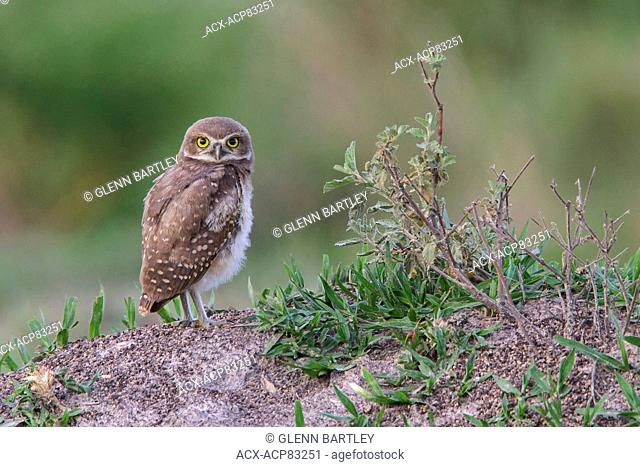Burrowing Owl (Athene cunicularia) perched on the ground in the Atlantic rainforest of southeast Brazil