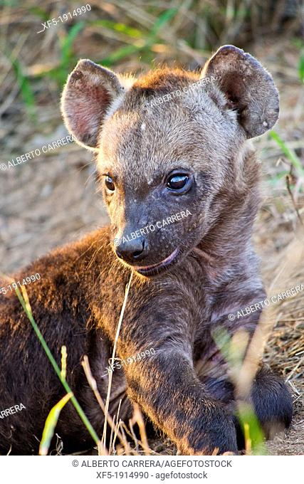 Spotted Hyaena, Crocuta crocuta, Kruger National Park, Mpumalanga, South Africa, Africa