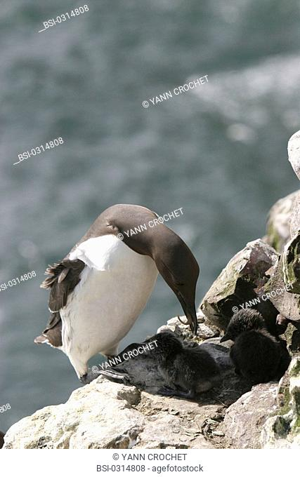 Common murre Common murre Uria aalge bringing food to her youngs, Shetland Islands, Scotland. Uria aalge  Common murre  Guillemot  Alcid  Seabird  Bird