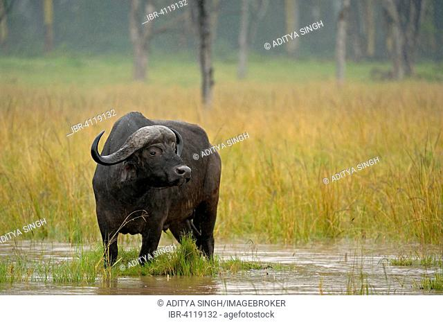 African buffalo or Cape buffalo (Syncerus caffer) in the rain, Lake Nakuru National Park, Kenya
