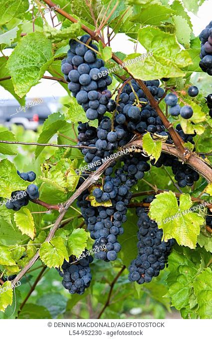 Grapes on Vines Finger Lakes Region New York