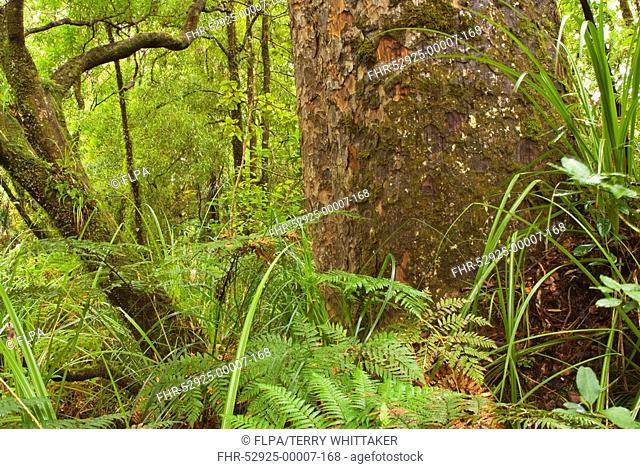 Kauri Agathis australis trunk, in forest habitat, Waipoua Forest, Northland, North Island, New Zealand