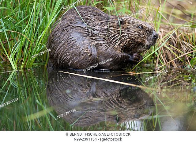 Beaver (Castor fiber), sitting on a river bank, Bavaria, Germany