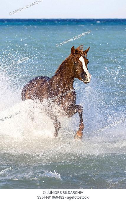 Arabian Horse. Chestnut stallion galloping in the sea. Egypt