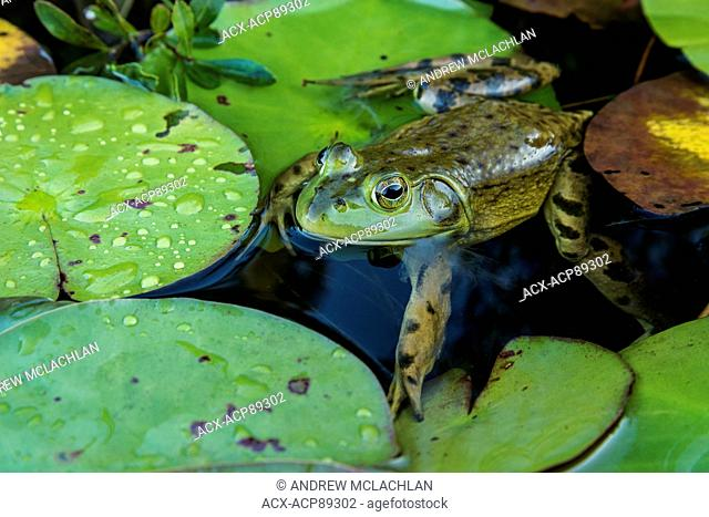 Bullfrog (Rana catesbeiana) shedding skin in wetland on Horseshoe Lake in Muskoka near Rosseau, Ontario, Canada