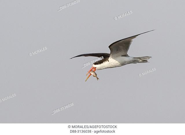 Africa, Southern Africa, Bostwana, Chobe i National Park, Chobe river, . African skimmer (Rynchops flavirostris), in flight with a fish in the beak