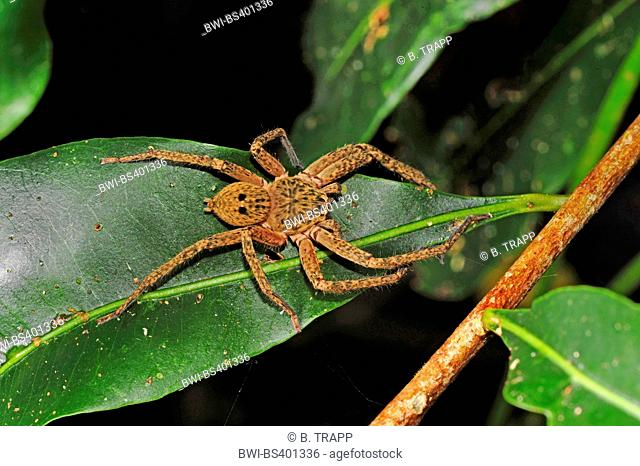 giant crab spider (Sparassidae), on a leaf in the rain forest, New Caledonia, +le des Pins