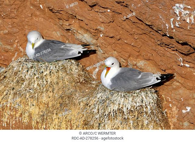 Kittiwakes on nests, Heligoland, Schleswig-Holstein, Germany / Rissa tridactyla / nest