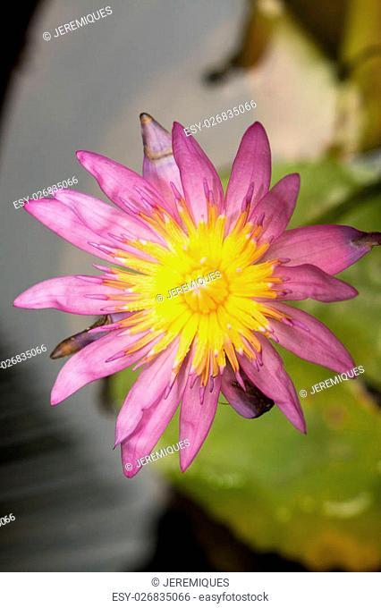purple nymphaea lotus in water pond