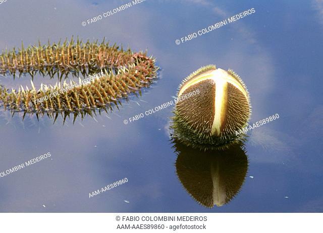 Giant Water Lily (Victoria amazonica), Amazon, Brazil