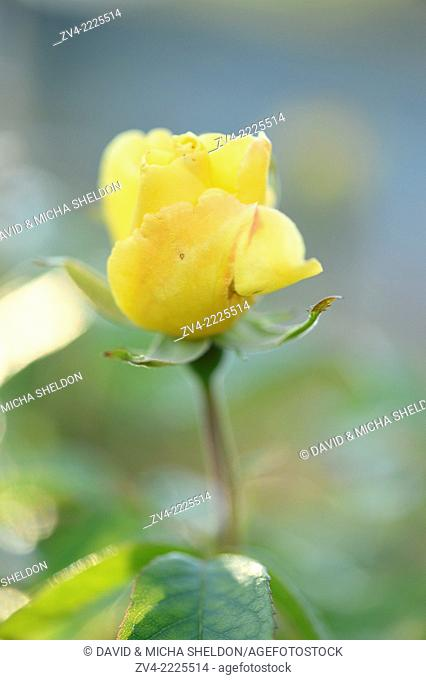 Close-up of a yellow garden rose blossom in a garden in early summer