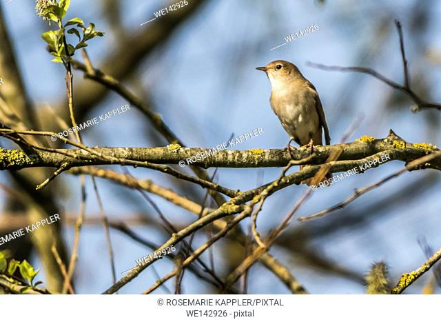 Germany, saarland, homburg - A common nightingale in the shrub is sitting on a branch