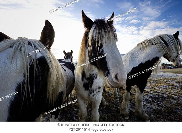 Wide angle close up photograph of Tinker horses on a frosty pasture under a cloudy sky in Anundsjoe, Sweden