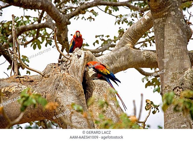 Scarlet Macaw (Ara Macao) Pair Standing At Nest Entrance, Los Lianos In Venezuela
