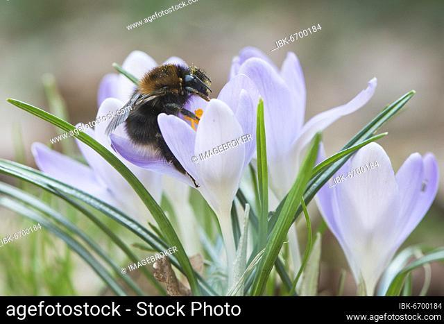 Tree Bumblebee (Bombus hypnorum) on elf crocus (woodland crocus), Emsland, Lower Saxony, Germany, Europe