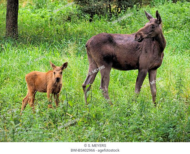 elk, European moose (Alces alces alces), female with elk calf, Germany, Bavaria