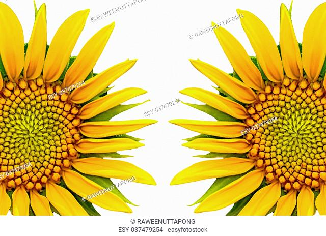Two sunflower closeup on white background
