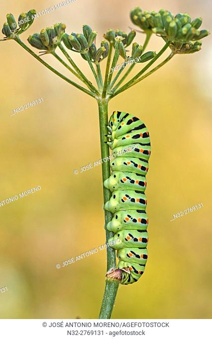 Swallowtail Caterpillar, Yellow Swallowtail (Papilio machaon) caterpillar, Benalmadena, Malaga Province, Spain