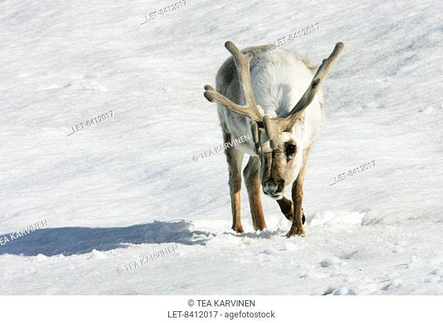 Svalbard reindeer Rangifer tarandus platyrhynchus at the King's Bayn on Spitsbergen, the largest island of Svalbard