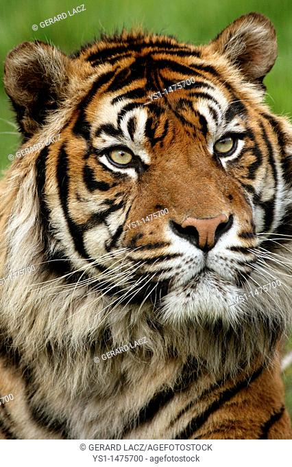 Sumatran Tiger, panthera tigris sumatrae, Portrait of Adult