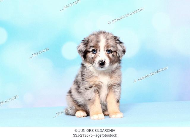 Miniature American Shepherd. Puppy (6 weeks old) sitting. Studio picture against a blue background. Germany