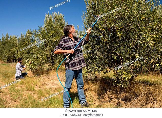 Men using olive picking tool while harvesting