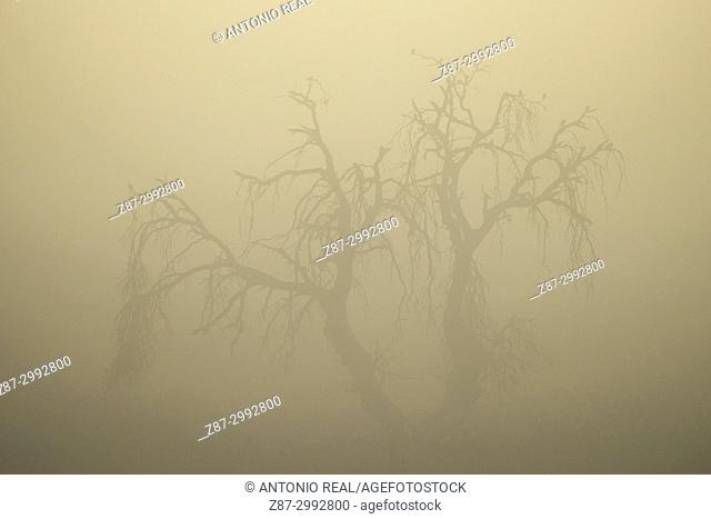 Holm Oak (Quercus ilex) and fog. Almansa. Albacete province. Spain
