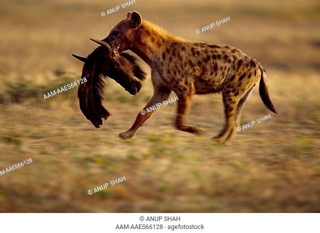 Spotted Hyaena (Crocuta crocuta) carries dead Wildebeest head (Connochaetes taurinus) Maasai Mara National Reserve, Kenya