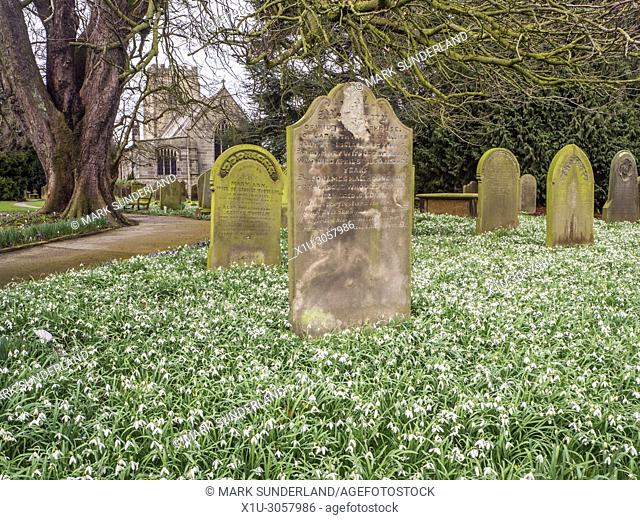 Snowdrops in bloom in the churchyard at St Thomas a Becket Church Hampsthwaite North Yorkshire England
