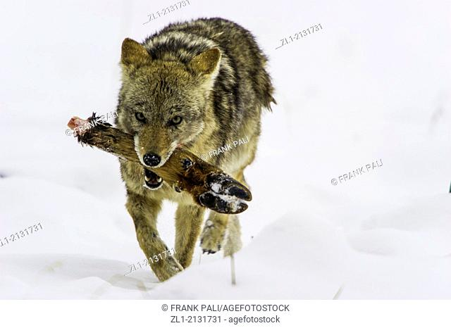 Coyote Canis latrans feeding on Elk foot from a previous kill. Wildlife of Yellowstone Park at Lamar Valley Mammoth Falls, Wyoming USA