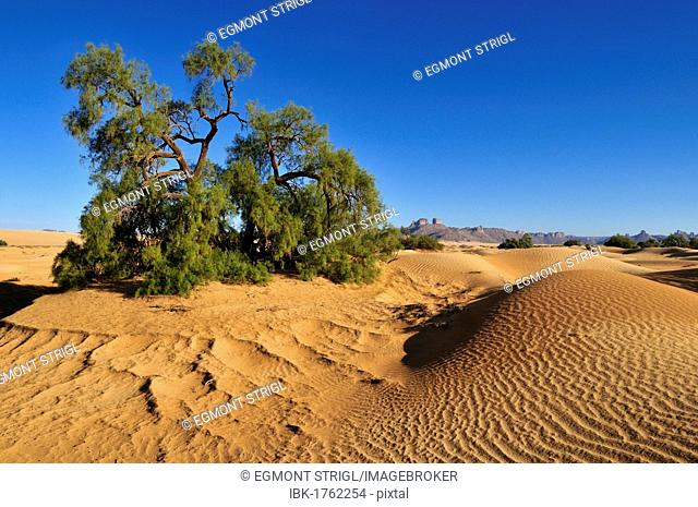 Tamarisk tree (Tamarix) growing on a sand dune of Erg Admer, Wilaya Illizi, Algeria, Sahara, North Africa, Africa