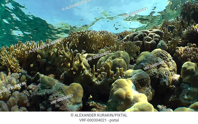 Net Fire Coral (Millepora dichotoma), Glare of sunlight on colorful corals near the water surface