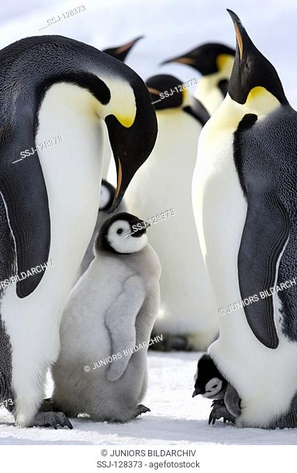 emperor penguins wiht cub - Aptenodytes forsteri