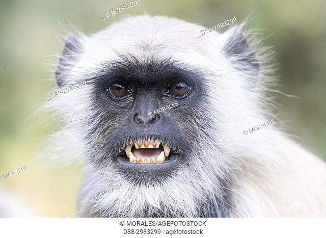Asia, India, Rajasthan, Ranthambore National Park, Northern plains gray langur or Hanuman Langur (Semnopithecus entellus)