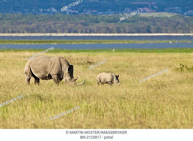 White Rhinoceroses or Square-lipped Rhinoceroses (Ceratotherium simum), adult with a calf, Lake Nakuru National Park, Kenya, East Africa, Africa