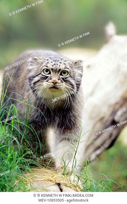 Pallas' Cat (Felis manul). Central Asia & Tibet, high altitude species