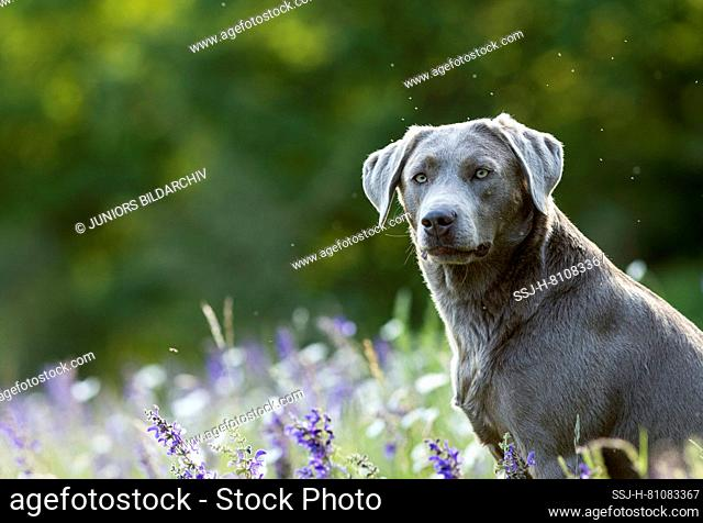 Labrador Retriever, Adult dog sitting in a flowering meadow. Germany