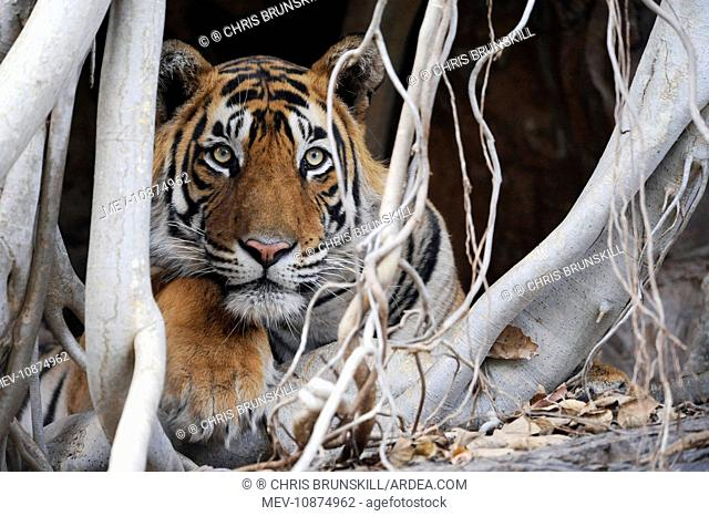 Tiger - resting amongst roots of Banyan Tree (Ficus benghalensis). Ranthambhore National Park - Rajasthan - India