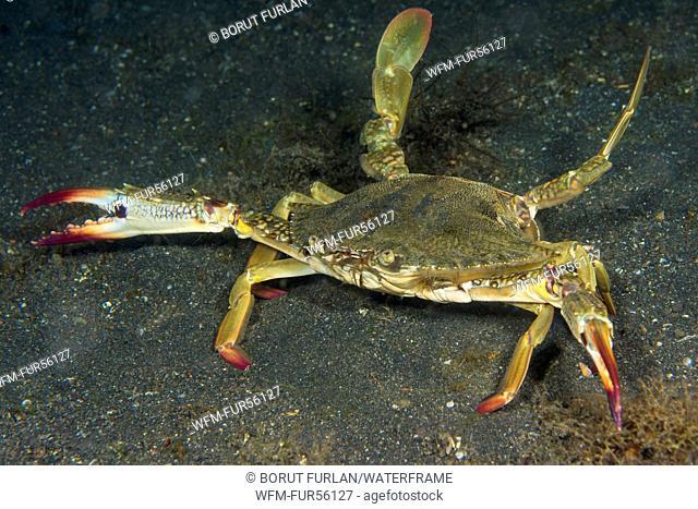 Swimming Crab, Portunus pelagicus, Lembeh Strait, North Sulawesi, Indonesia