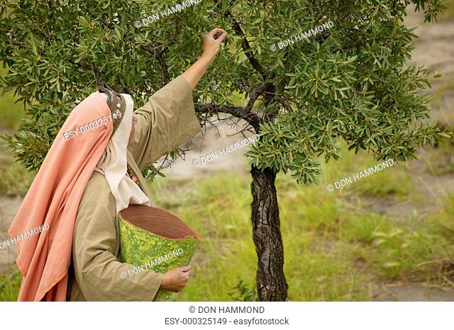 Picking fruit from a tree