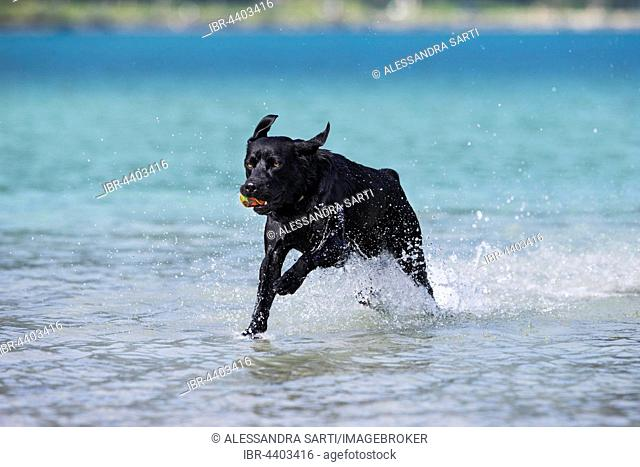 Labrador, black, running through water, Tyrol, Austria