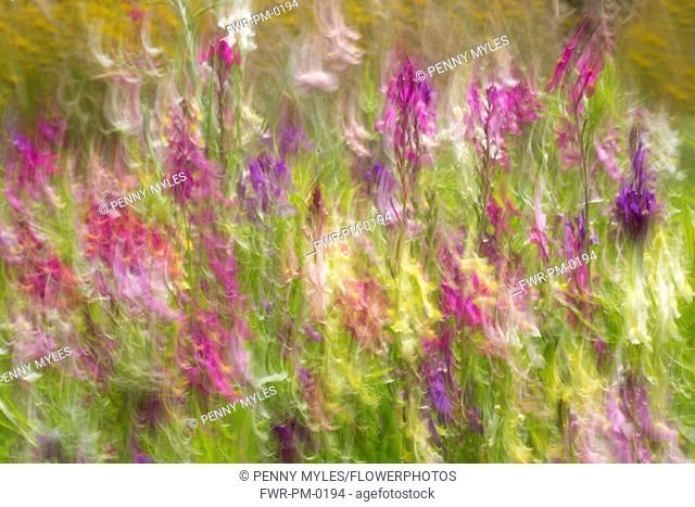 Fairy toadflax, Linaria moroccana, Blurred motion of wild flowers in the wind