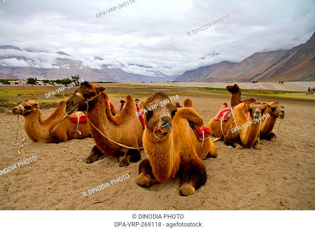Bactrian camels, Hunder village, Nubra Valley, Ladakh, Kashmir, India, Asia